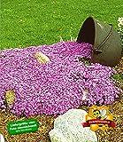 BALDUR-Garten Teppichphlox 'Emerald Pink',winterharter Bodendecker 3 Pflanzen