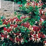 3 Geissblatt Serotina (Lonicera) Kletterpflanzen: 3 kaufen/2 bezahlen / Rot & Winterhart - 1,5 Liter Topfen - ClematisOnline Kletterpflanzen & Blumen