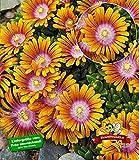 BALDUR-Garten Bodendecker Delosperma 'Fire Spinner' Eisblumen, 3 Pflanzen