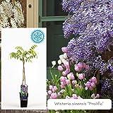 Inter Flower -Garten Blauregen ,Japanischer Blauregen1 Pflanze Wisteria sinensis Prolific ,blau, Kletterpflanze, Winterhart, Gartenpflanze