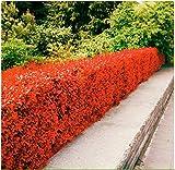 Beautytalk-Garten-Hecke, Zierpflanzen mehrjährig winterhart Heckenpflanzen WildBlumen Biene-Paradies Pflanzen für Hausgarten