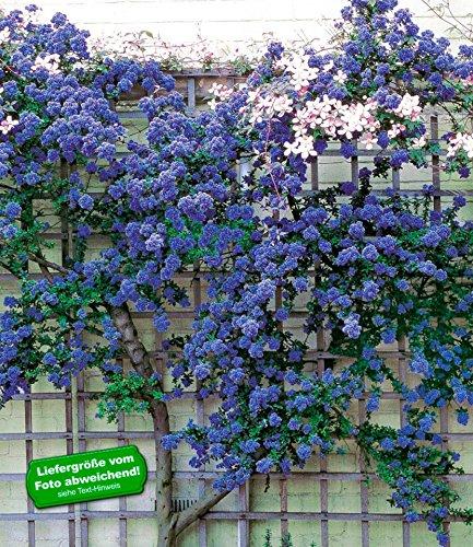 BALDUR-Garten Immergrüne Säckelblume Ceanothus 'Trewithen Blue', 1 Pflanze