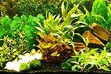 Zoomeister - Aquarium-Pflanzen-Set 'Sorgenfrei' Einfach+Schön+Gut