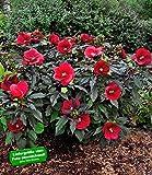 BALDUR-Garten Winterharter Hibiskus 'Summerific''Midnight Marvel';1 Pflanze
