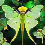 Qulista Samenhaus - Rarität 100pcs Schmetterlings-Orchidee Phalaenopsis Orchidee Bonsai | pflegeleicht exotisch Blumensamen mehrjährig Winterhart