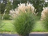 5 x Miscanthus sinensis 1 Liter (Ziergras/Gräser/Stauden) Chinaschilf ab 3,19 pro Stück