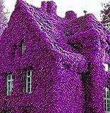 AIMADO GartenClematis Kletterpflanze, 100Pcs Kletterpflanzen Samen Pflanze winterhart ClematisOnline Kletterpflanzen & Blumen