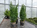 50 Premium winterharte Koniferen 30 - 40 cm 'Ellwoodii' Zypressen Heckenpflanze Konifere Thuja Hecke