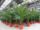 Palme 120 - 150 cm, XL Phoenix canariensis, kanarische Dattelpalme, winterhart