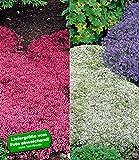 BALDUR-Garten Bodendecker winterhart Thymian-Kollektion rot und weiß 6 Pflanzen
