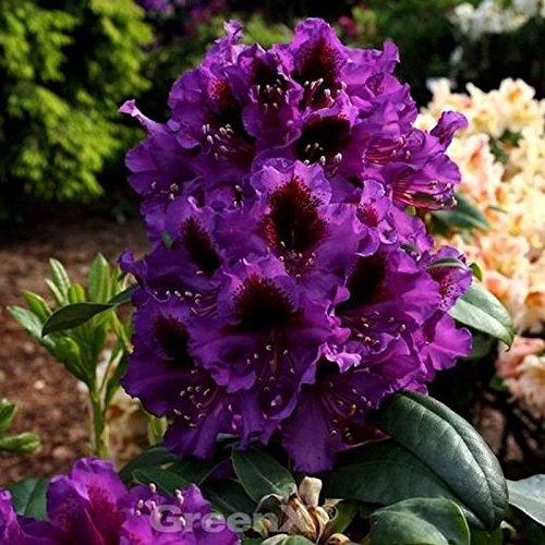 Großblumige Rhododendron Orakel 30-40cm - Alpenrose