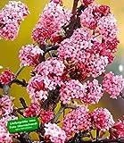 BALDUR-Garten Duft-Schneeball'Dawn' Viburnum bodnantense Winterschneeball 1 Pflanze