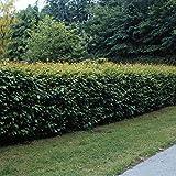 Dominik Blumen und Pflanzen, Hainbuchen-Hecke, Carpinus betulus, 10 Pflanzen, ca. 50 cm hoch, für 2 - 3 Meter Hecke, winterhart, plus 1 Paar Handschuhe gratis