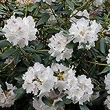 Dominik Blumen und Pflanzen, Rhododendron 'Cunninghams White', 3 Pflanzen, 20 - 30 cm hoch, 2 Liter Container, winterhart, plus 1 Paar Handschuhe gratis