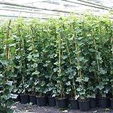 6 Efeu - Hedera Hibernica 175/200cm - 6 kaufen / 4 bezahlen | 6 Immergrüne Kletterpflanzen für eine 100% Sichtschutz Hecke - Winterhart | ClematisOnline Kletterpflanzen & Blumen