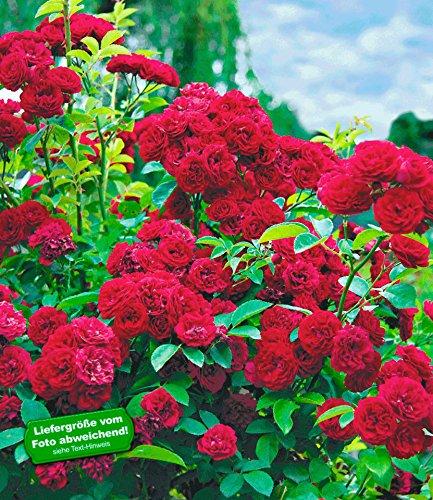 BALDUR-Garten Rambler-Rosen 'Chevy Chase', 1 Pflanze Kletterrose winterhart mehrjährige Kletterpflanze