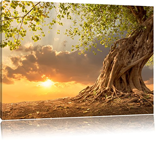 Verwurzelter starker Baum im Sonnenuntergang, Format: 120x80 auf Leinwand, XXL riesige Bilder fertig gerahmt mit Keilrahmen, Kunstdruck auf Wandbild mit Rahmen, günstiger als Gemälde oder Ölbild, kein Poster oder Plakat