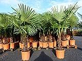 XXL 180 cm Palme winterhart, Trachycarpus fortunei, Hanfpalme + Bonsai Zitrone 25 - 35 cm