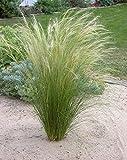 3 x Stipa tenuissima 'Pony Tails' 1 Liter (Ziergras/Gräser/Stauden) Federgras ab 3,19 € pro Stück