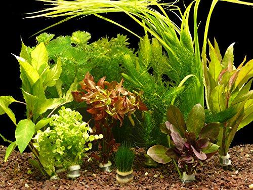 Zoomeister - 5 verschiedene Bund Wasserpflanzen, ca. 35 Einzelpflanzen gegen Algen