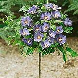 Dominik Blumen und Pflanzen, Hibiskus Oiseau bleu zum Stämmchen gezogen blau blühend, 1 Pflanze