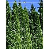 Gardline Lebensbaum Thuja Smaragd 180-200 cm, EXTRA, 5X Heckenpflanze