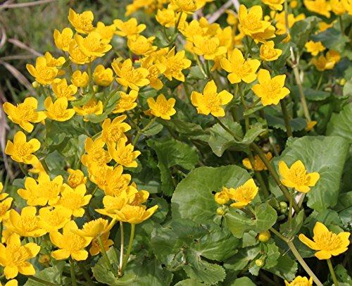 fertig im Pflanzkorb - winterhart! - Caltha palustris - Sumpfdotterblume, gelb - Wasserpflanzen Wolff