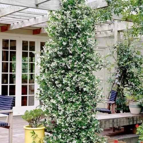 Sternjasmin (Immergrün & Winterhart) - 1,5 Liter Topf - Wintergrün | ClematisOnline Kletterpflanzen & Blumen
