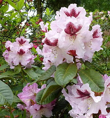 Großblumige Rhododendron Herbstfreude 40-50cm - Alpenrose