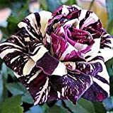 Multicolor Blume Samen–Wildblume, 100Samen, rose-white+purple