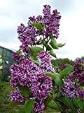 Fliedertraum Syringa vulgaris 'Sensation' Gartenpflanze, Flieder, Lila Blüten Mit Weißem Rand, 40-60 cm