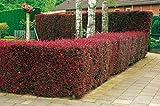 Blutberberitze Atropurpurea - Heckenpflanze Berberitze winterhart - Gartenhecke Sichtschutz - 1 Pflanze 30 - 50 cm im Topfballen von Garten Schlüter - Pflanzen in Top Qualität