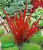 BALDUR-Garten Ziergras 'Red Baron' Japanisches Blutgras Flammengras, 3 Pflanzen Imperata cylindrica