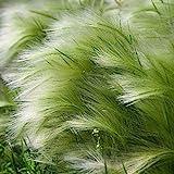 Ziergras Zartes Federgras - Stipa tenuissima Pony Tails - verschiedene Größen (2 Ltr.)