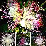 Keland Garten - Selten Tazetten-Narzissen Samen mehrjährig Blumensamen, lange Blütezeit, geeignet für Schnittblumen Garten, Beet & Vase (50 Stück)