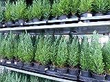 20 Premium winterharte Koniferen 'Ellwoodii' Zypressen Heckenpflanze Konifere Thuja