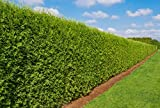 Heckenpflanze - Thuja occidentalis Brabant - Pflanzhöhe 140-160cm - BALLENWARE (25)