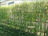 Portal Cool 6 Fresh White Willow 2M / 6Ft 6', Salix Alba Heckenpflanzen, schnell wachsender Bildschirm