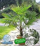 BALDUR-Garten Winterharte Kübel-Palmen 2 Pflanzen, Hanfpalme Trachycarpus fortunei