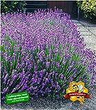 BALDUR-Garten Winterharte Stauden Lavendel-Hecke 'Blau' Duftlavendel, 9 Pflanzen Lavandula angustifolia Munstead echter Lavendel