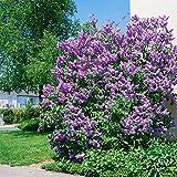 Dominik Blumen und Pflanzen, Flieder helllila blühend,  2 Pflanzen