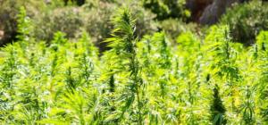 Eine Plantage von Cannabis. Er blüht sehr schön in der Sonne.