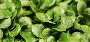 Des Mausohrsalat ist schön grün und noch ein wenig Nass. Dies sieht man an den Wassertropfen.