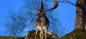 Auf einem Hügel steht ein Hirsch mit seinem Geweih.